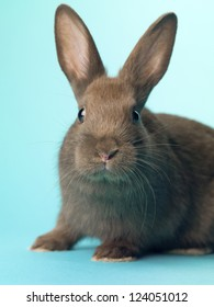 Curious black bunny looking at camera while sitting over turquoise background.