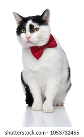 curious black and white cat seated with eyes wide open on white background, wearing a red bow tie