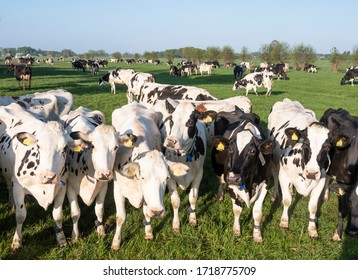 curious black and white holstein cows in meadow under blue sky