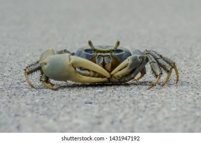 A curious blue crab scuttles across the pavement in a state park in Florida