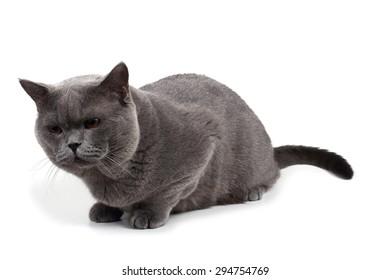 Curious British cat