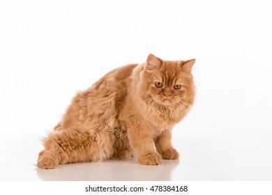 Curious British Longhair Cat Lying on the white desk.