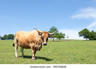 Curious  brown Aubrac beef cow  with her lyre shaped horns  in a sunny pasture looking intently at the camera, side view closeup with copy space