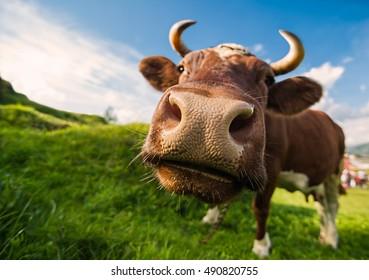 A curious brown cow against a blue sky backdrop