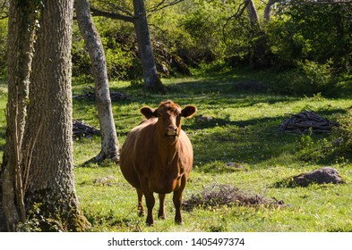 Curious brown cow in a green forest by springtime in the swedish nature reserve Horns Kungsgard on the island Oland
