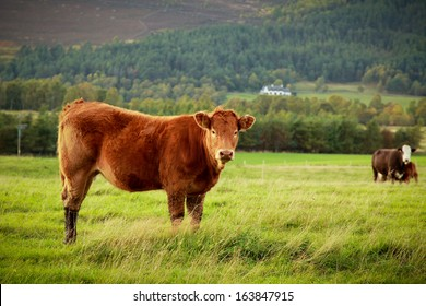 Curious brown cow in a meadow looking at the camera