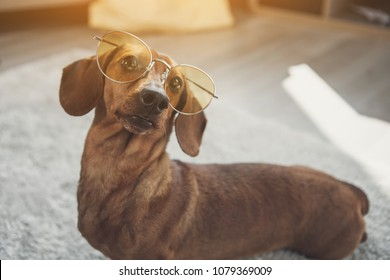Curious brown German badger-dog looking through cool sunglasses with interest