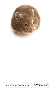 Curious brown hamster isolated on white with copy space