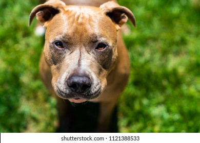 Curious Brown Pitbull Squinting at Camera
