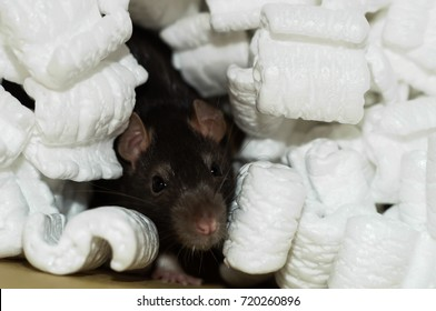 Curious brown rat buried in white packing styrofoam peanuts