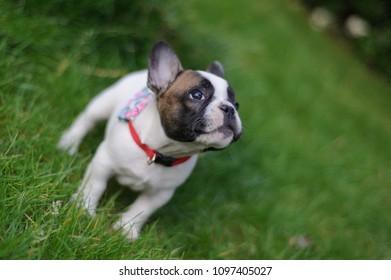 Curious bulldog puppy lookuing up.