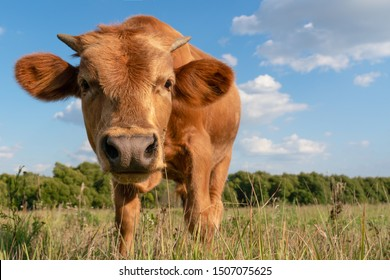 curious calf stands in a clearing with green grass and pulls his nose into the frame