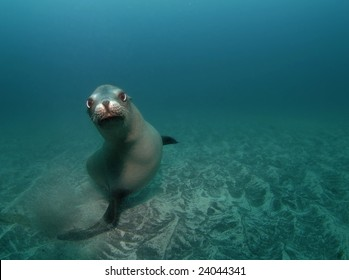 A curious California Sea Lion (Zalophus californianus) looks at the camera while swimming underwater