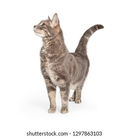 Curious cat grey tabby. Standing and stretching neck up to look to side