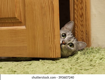 Curious cat looking between door, funny curious grey cat looking straight to the camera, green eyes kitten