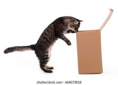Curious cat looking in a box -christmas gift
