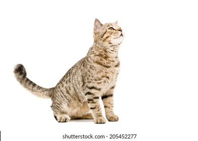 Curious cat Scottish Straight sitting isolated on white background