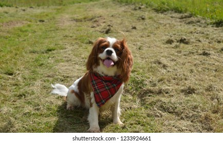 Curious Cavalier King Charles spaniel sitting on a green meadow