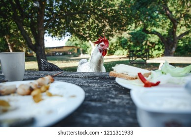 Curious chicken by the table wants to have a breakfast