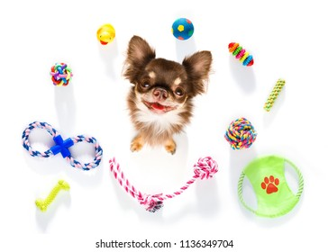 curious chihuahua dog looking up to owner waiting or sitting patient to play or go for a walk,  isolated on white background and toys