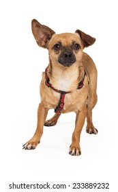 Curious Chihuahua Dog standing while looking into the camera.