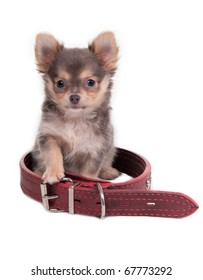 Curious chihuahua puppy is sitting into a huge collar, isolated