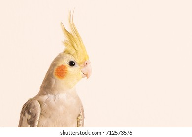 Curious Cockatiel face portrait, Isolated on white background