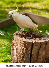 Curious cockatoo bird sitting on a log in Australia