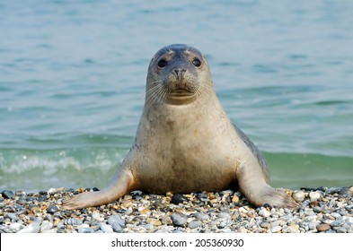 Seal Animal HD Stock Images | Shutterstock