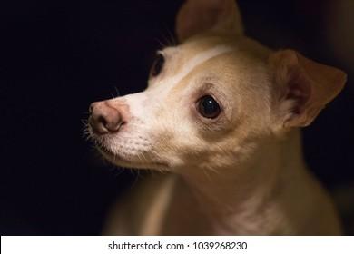 Curious Corgi-Chihuahua Mixed Dog