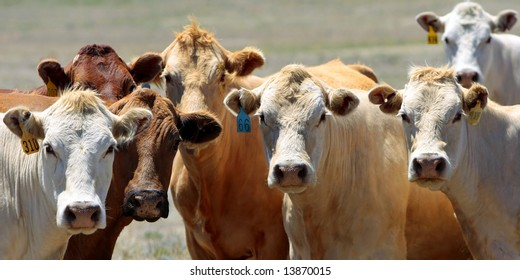 Curious Country Cows – A close-up of the heads of a group of cows hanging out together in the country (wide format - shallow focus).