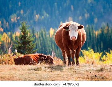 The Curious Cow in Alberta