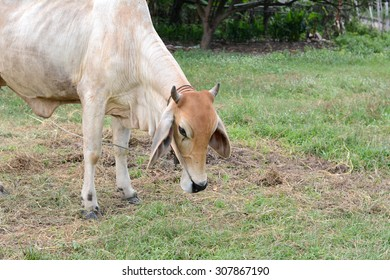 Curious cow eating grass at the field.