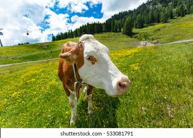 Curious cow looking at camera on alpine green meadow. Mountain landscape at background. Focus on eyes.