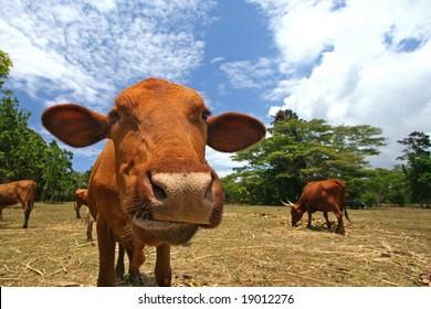 curious cow on a dairy farm