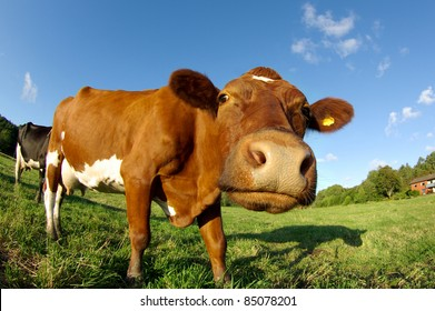 Curious cow on a field