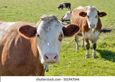curious cow (Simmental cattle) looking into the camera