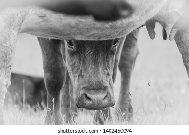 Curious Cow wathing whats going on