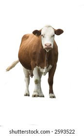 curious cow-isolated