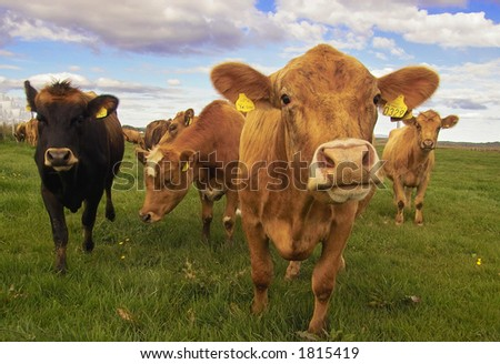 Curious cows in Iceland