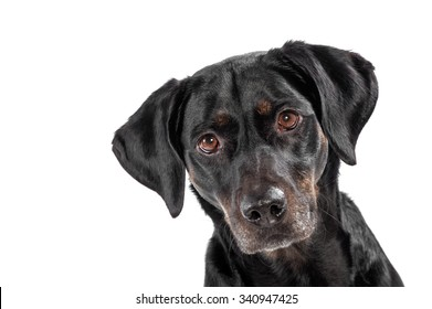 Curious cute black dog staring intently at the camera with cocked ears, head portrait isolated on white with copy space