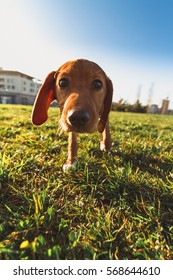Curious and cute hound puppy dog exploring the world and walking free at the park. Low angle view