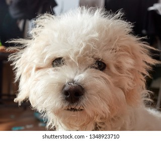 Curious cute little fluffy white toy breed dog looking at the camera in a close up head shot indoors