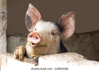 curious cute pigs