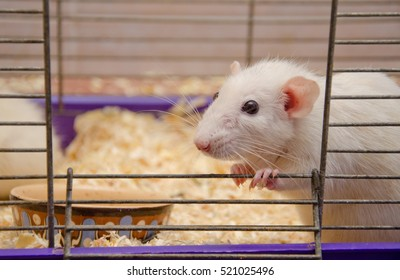 Curious cute white rat looking out of a cage (selective focus on the rat eyes)