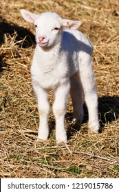 Curious day old lamb in straw, Katahdin breed, family farm, Webster County, West Virginia, USA
