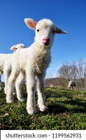 Curious day old lambs, Katahdin breed, family farm, Webster County, West Virginia, USA