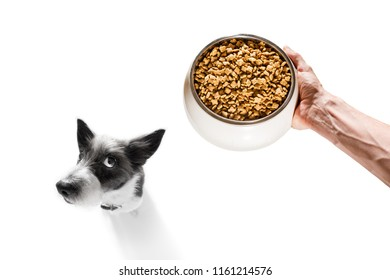 curious dog looking up to owner waiting or sitting patient for the meal in a food bowl,  isolated on white background