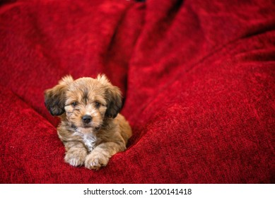 Curious dog obediently laying in big red bean bag. Little, lovely, adorable, fluffy, cute brown puppy is left alone home. Concept of discovering the world, everything is new. Christmas background