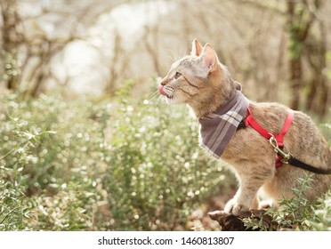 Curious domestic cat of ginger color on a leash walking in summer forest.